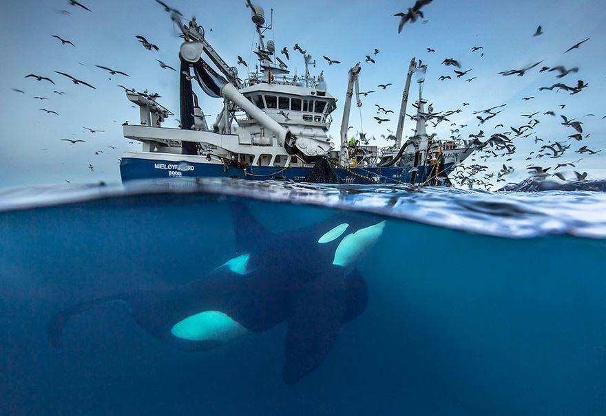 arctic-whales-photography-audun-rikarsen-3-582abc8002613__880