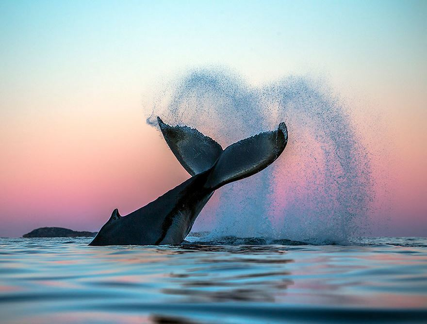 arctic-whales-photography-audun-rikarsen-9-582abc8cf2f3b__880