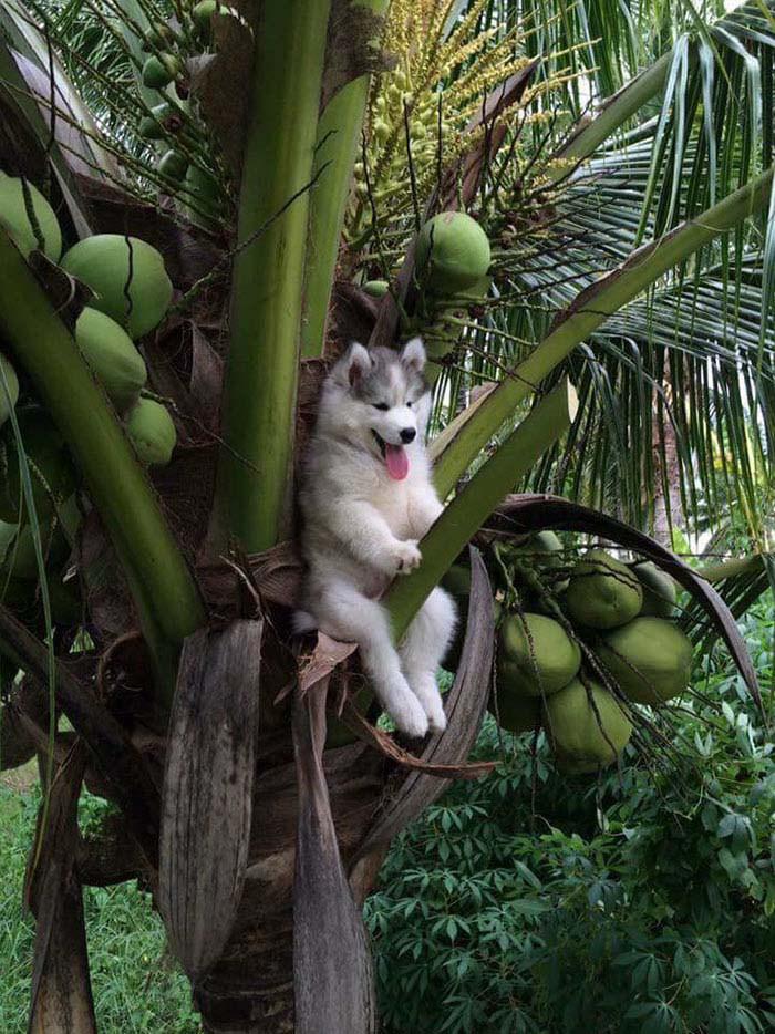 husky-tree-photoshop-battle-vinegret-1