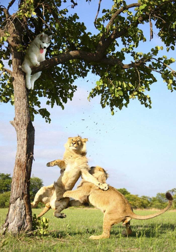 husky-tree-photoshop-battle-vinegret-10