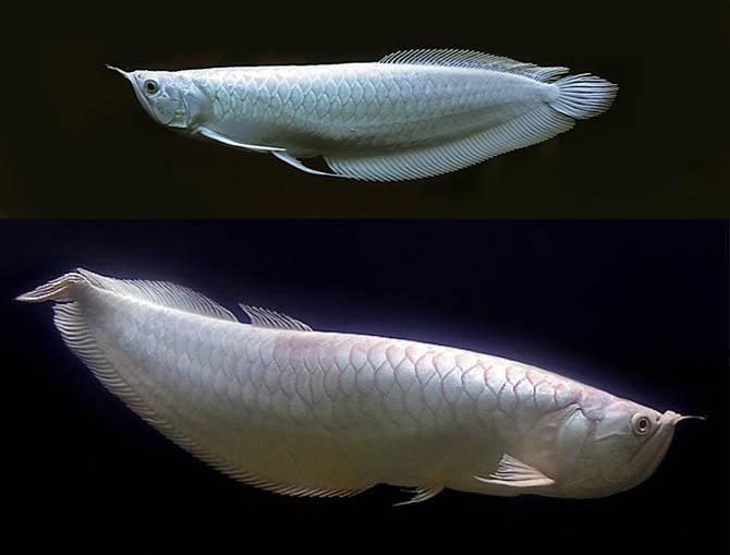 samaya-dorogaya-ryba-v-mire-8
