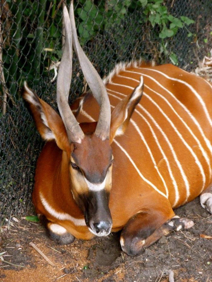 Антилопа бонго