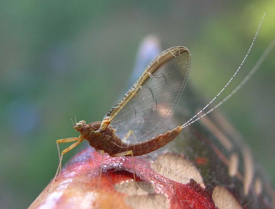 насекомые-поденки