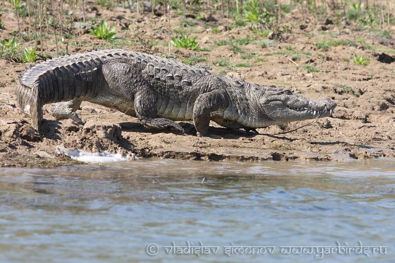 Болотный крокодил