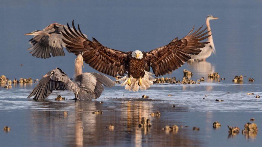 Белоголовый орлан и большие голубые цапли