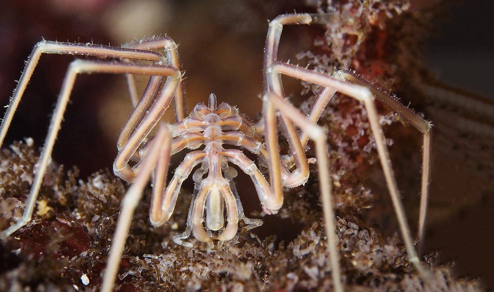 Морской паук