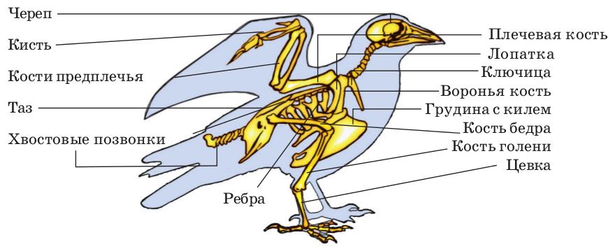 поможет Как отделы скелета у птиц изготовлении