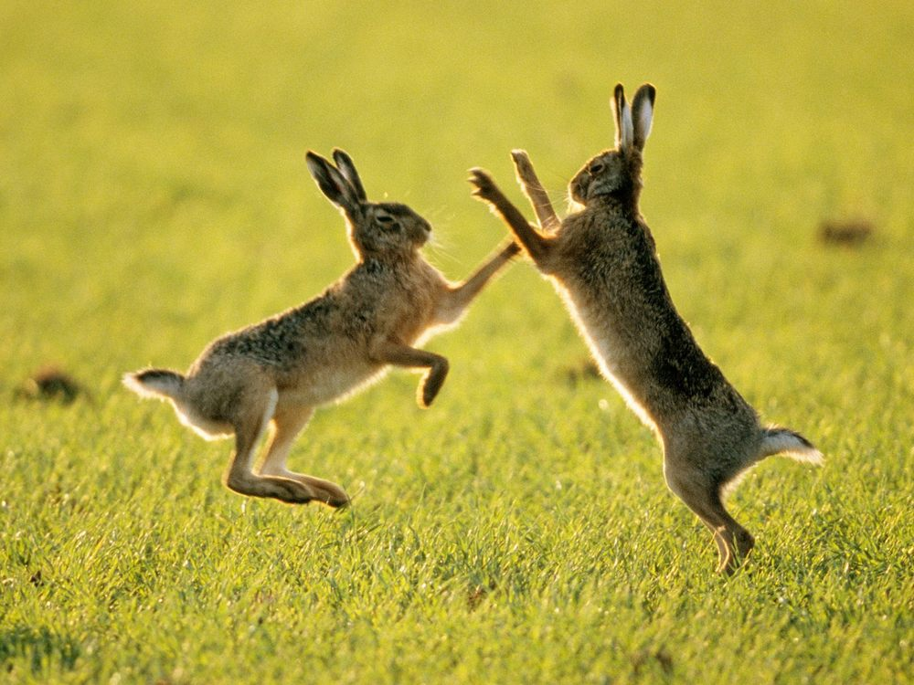 Картинки по запросу заяц боксер