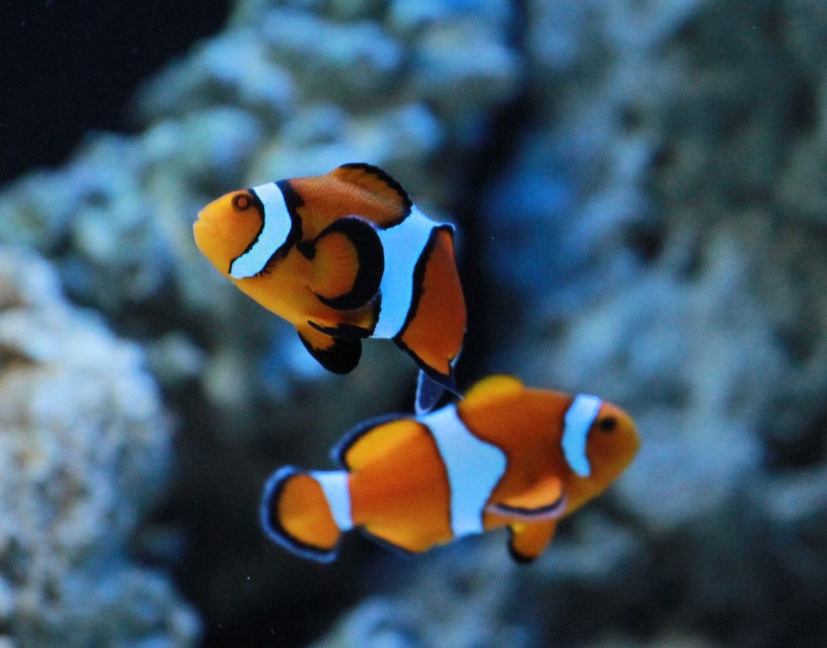 Рыба клоун в аквариуме
