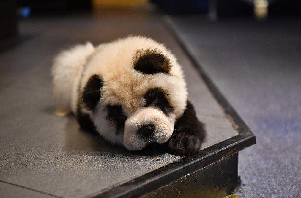 перекрашенных собак выдавали за панд
