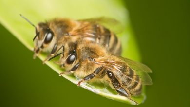 Пчелы медоносные