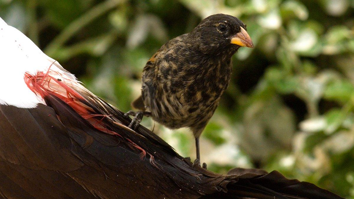 птичка-вампир – остроклювый земляной вьюрок