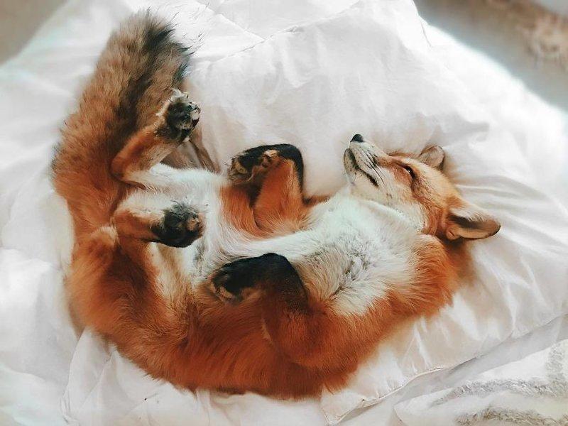 Домашняя лиса
