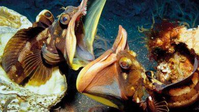 Морская щучья собачка