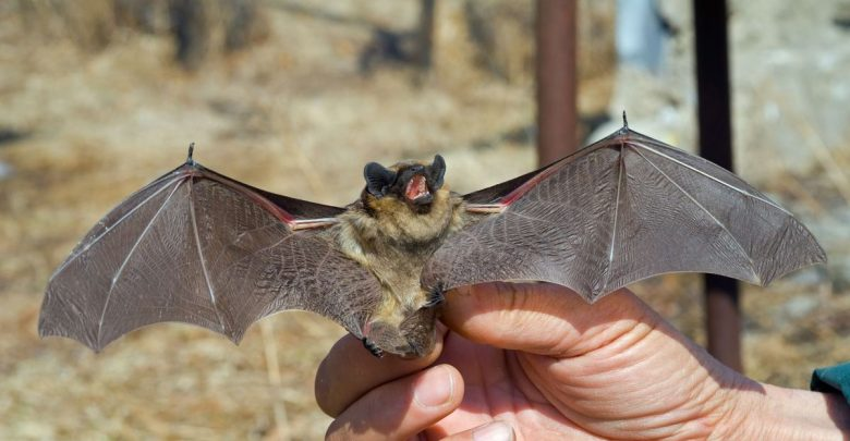 Летучая мышь, рукокрылые