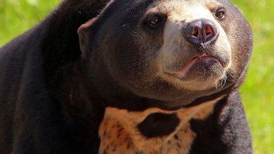 Солнечный малайский медведь