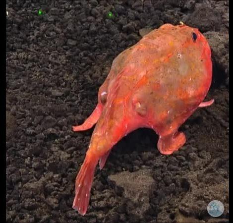 Красная рыба-лопата